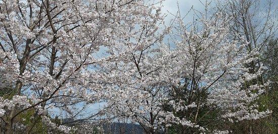 Geochang-gun, South Korea: 개명녹원의 벚꽃축제