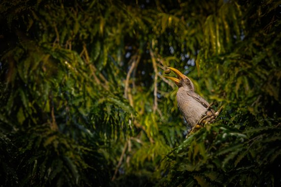 Malabar Grey Hornbill in nearby KPTCL Power Plan