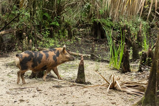 Babcock Ranch Eco Tours: Large Boar
