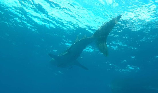 our group did meet him - the nice whale-shark ... one of many they say - still you have to be lucky....