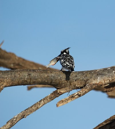 Pied Kingfisher with breakfast!