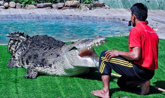Crocodile Adventureland Langkawi: Bujang Lang & his keeper at Crocodylus Pond A