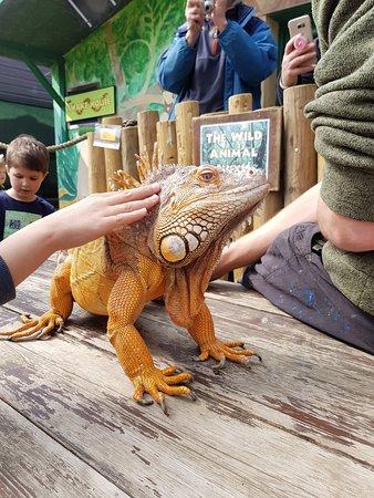 Stroking Denzel, The GReen Iguana