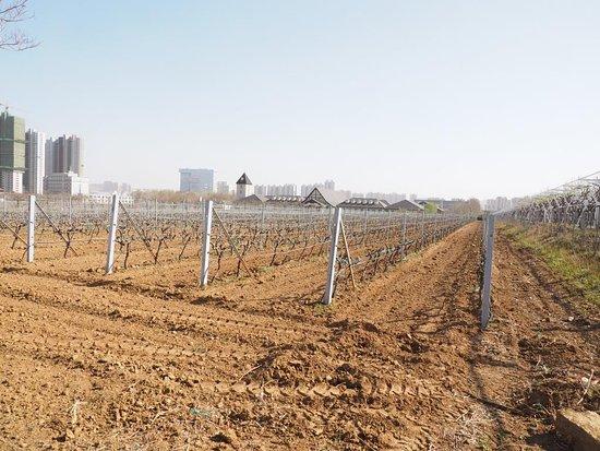 Zhangyu International Grape Wine City: Vineyard