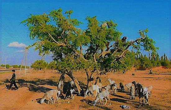 Morocco: Ziegen auf den Bäumen, welche die Früchte des Baumes fressen und dann die Kerne ausscheiden! Diese werden gepresst und ein teures Speiseöl daraus gewonnen!