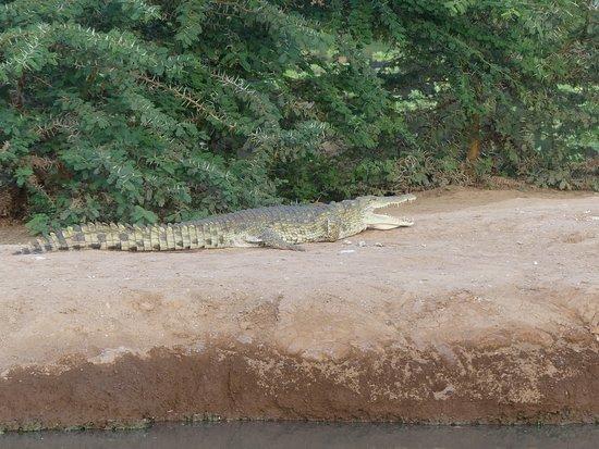 Robert Safaris Adventure Day Excusions: Krokodil  im See von der Lodge Voyager Ziwani - Fusswanderung