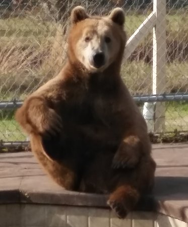 Wimauma, FL: Stanley the grizzly. All of the animals at Elmira's Wildlife Sanctuary are rescues.
