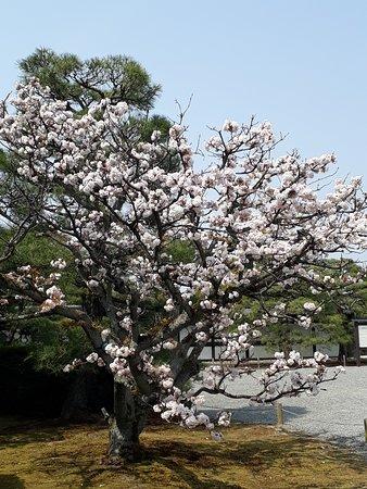 As cerejeiras
