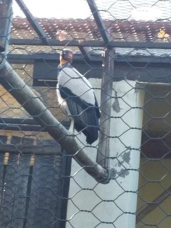 Avvoltoio papa