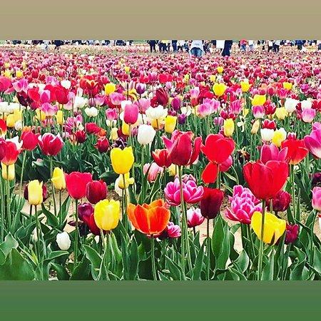Tulipani Italiani: m