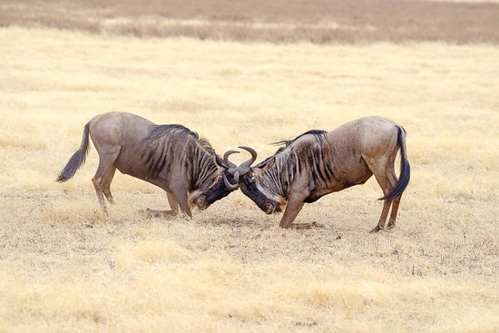 The contest in the wild side of Tanzania
