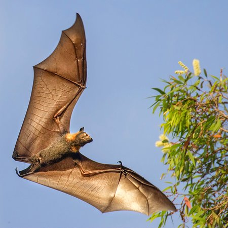 Spectacular Spectacled Flying fox looking fo flowers