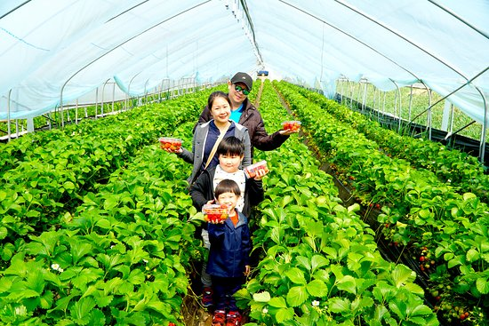 คยองกี-โด , เกาหลีใต้: Family activity, strawberry picking with Korea GPS Travel.