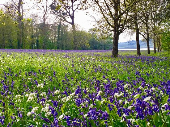 Torpoint, UK: Bluebells and Wild Garlic nodding their heads in the warm breeze on Easter Sunday
