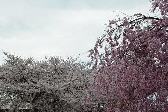 左は公園の染井吉野