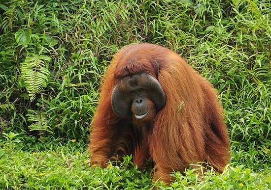 Rimba Borneo Kalimantan Orangutan and Eco Tours