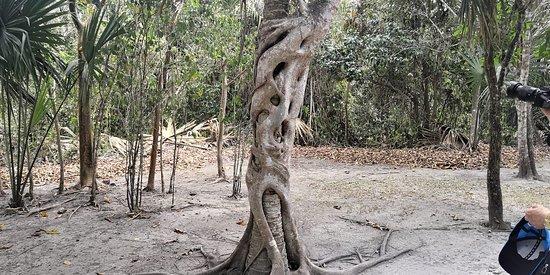 """Zona Arqueologica De Chaachoben: sembra che gli alberi qui si """"mangino"""" tra di loro...."""