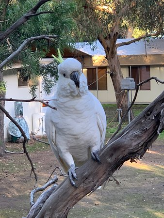 One of the many, many cockatoos on the Kennet Road