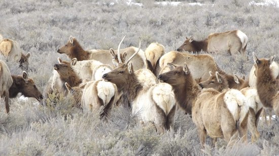 Jackson Hole Adventure Rentals: Saw lots of Elk!
