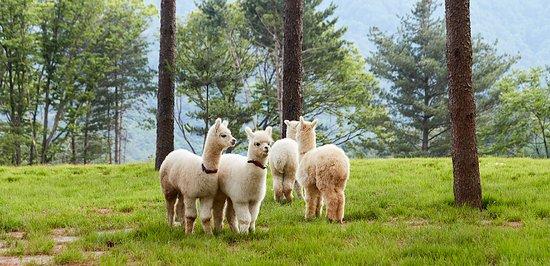 سيول, كوريا الجنوبية: Hairy and lovely alpacas are waiting for you to visit