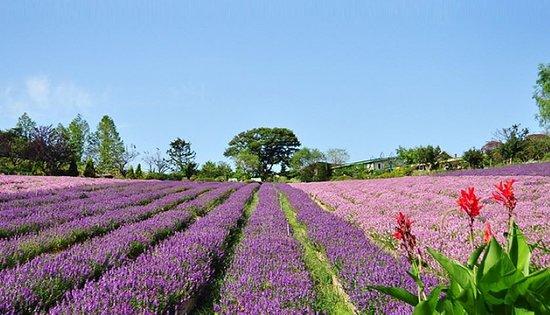سيول, كوريا الجنوبية: The whole slope is covered with lavender, as if the lavender field is covered with purple carpet.