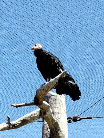 Vulture searching for prey
