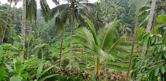 Best of Ubud Tour with Jungle Swing: Rice Terraces.