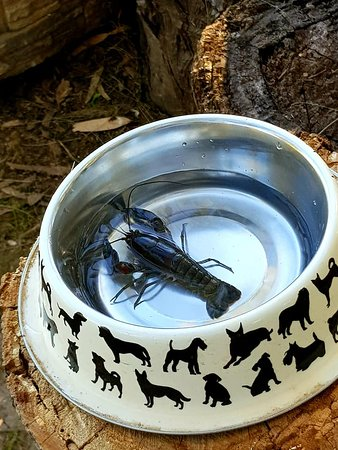 yabbies from the pond. they eat bacon