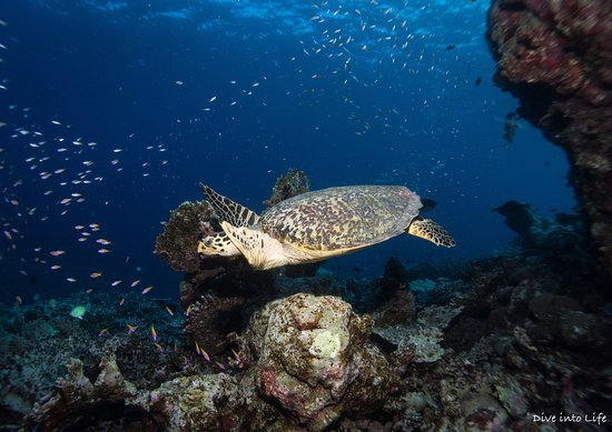 South Huvadhoo (Gaafu Dhaalu) Atoll: Hawksbill sea turtle surrounded by anthias.