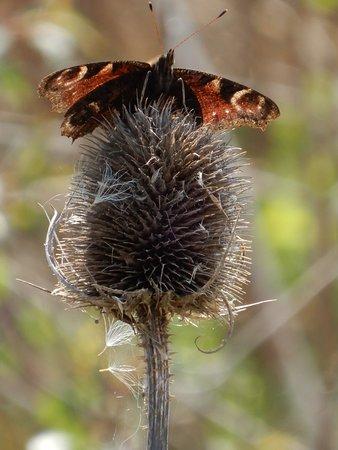 Wildlife,(Butterfly).
