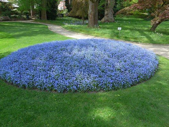 Leuven, Botanical Garden Kruidtuin, myosotis