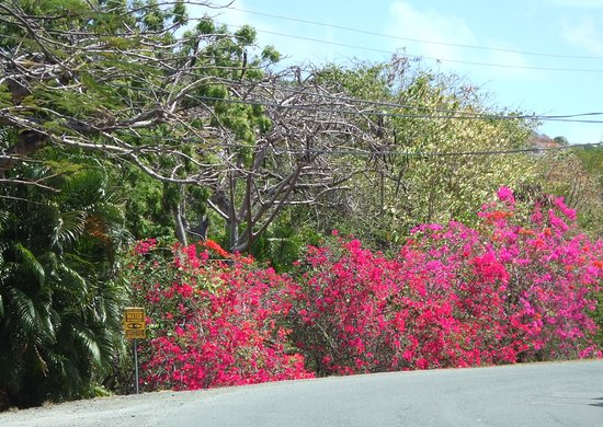 Cap Estate, St. Lucia: Bougainvillea growing along the roadside, just north of the Royalton.