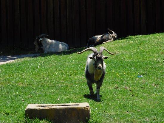Garden Route Wolf Sanctuary: Goats