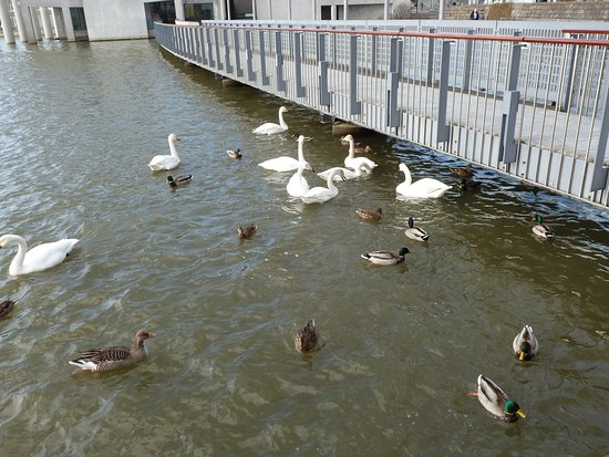 Des cygnes et des canards