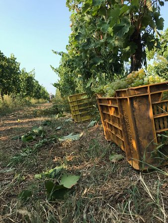 Vendemmia 2018 Chardonnay