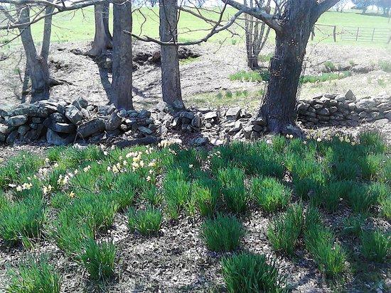 Laurel Ridge Farm: Daffodils by old stone wall