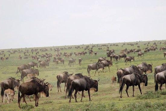 kilimanjarodreamadventures: wild beets migration in Serengeti national parks