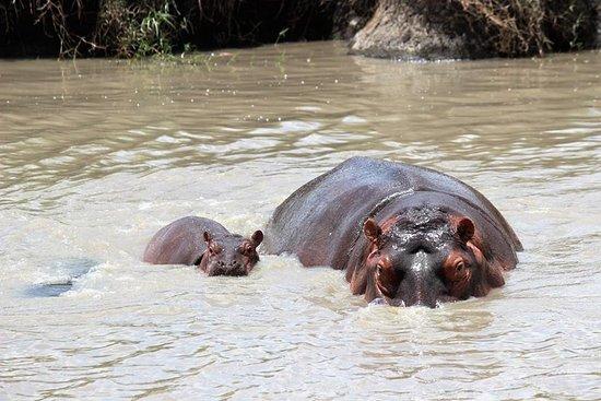 kilimanjarodreamadventures: Hippos in Serengeti national parks.