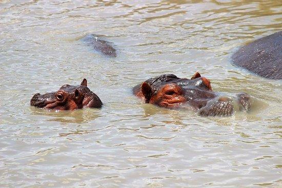 Hippos in Serengeti national parks.