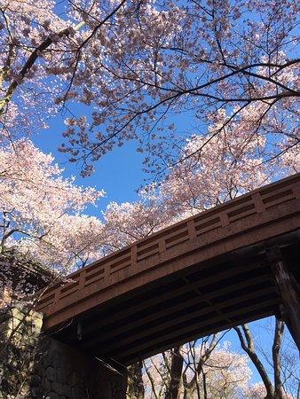 開花状況と天気予報のベストタイミングに訪問しました。今年は昨年より開花が遅れたようですが、開花は素晴らしく、コヒガンザクラ越しの木曽駒ケ岳は絶景でした。