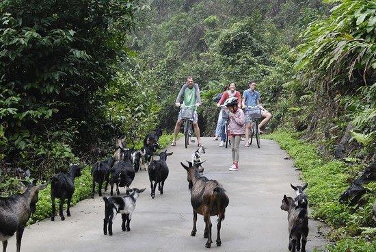 Cat Ba Trip: goats and kid