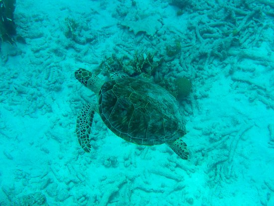 Woodwind Sailing & Guided Snorkel: Turtle on the snorkeling tour!