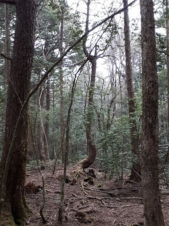 Aokigahara Forest: twisted tree trunk