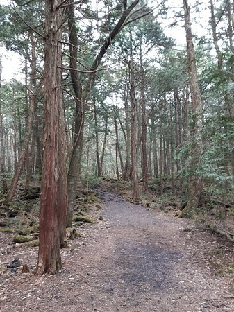 Aokigahara Forest: path over hardened lava flow
