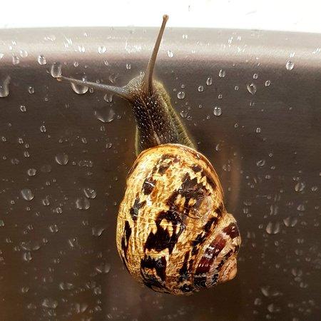 ♧ Cargol bover calibre G...   ♡ Caracol helix aspersa tamaño G...  ♤ Snails size L... .  ☆ Vols saber més? Quieres saber más? www.vdGust.com