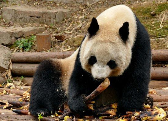 Xiongmao Jidi Adult panda.