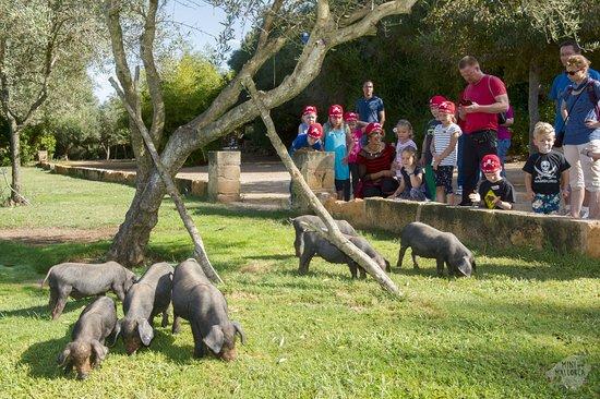 Kleine, schwarze Schweine