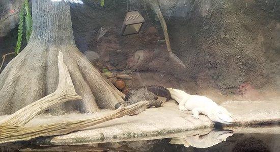 The albino alligator is fascinating!