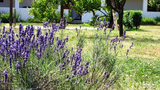 Tiszacsege, ฮังการี: Lavender in the garden
