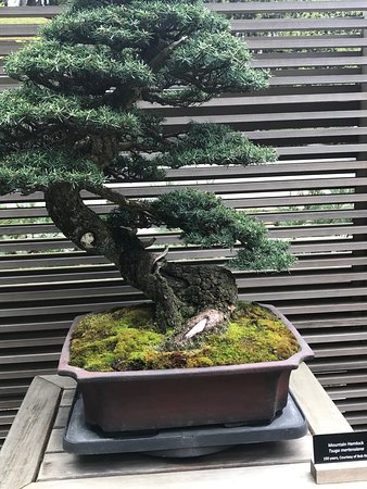 ‪‪Washington Park‬: One of bonsai trees on display near entrance of the garden.  This particular tree is 150 years old.‬
